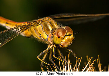 Large dragonfly sits on a burdock