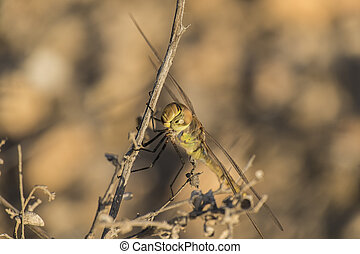Large dragonfly sits on a dry branch