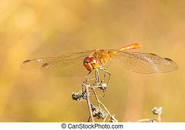 Large dragonfly sits on a dry grass