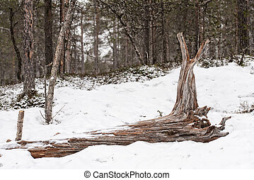 Large driftwood tree laying in a white snow