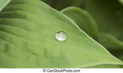 Large drop on a big green leaf