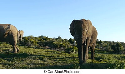 large elephant in south africa
