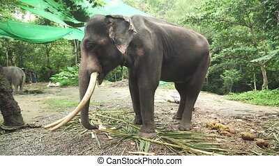 Large elephant with tusks - Large elephant with a tusks
