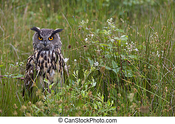 Large European Eagle Owl hidden - Large European Eagle Owl ...