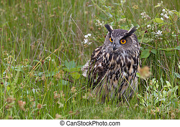 Large European Eagle Owl hiding - Large European Eagle Owl ...