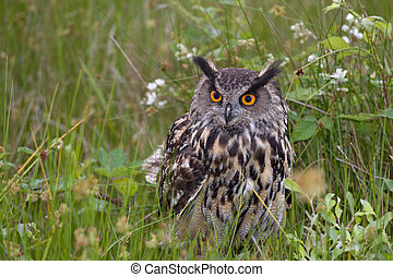 European Eagle Owl - Large European Eagle Owl sitting in ...