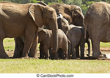 Large family of elephants standing at a water hole