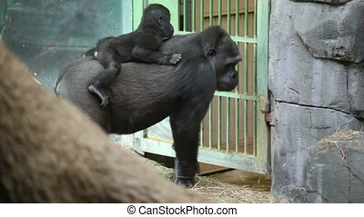 Large female gorilla walk with baby on her back, at day in...