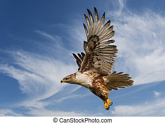 Large Ferruginous Hawk in flight with blue sky background