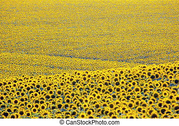 Large field of blooming sunflowers in sunlight. Agronomy, agriculture and botany.