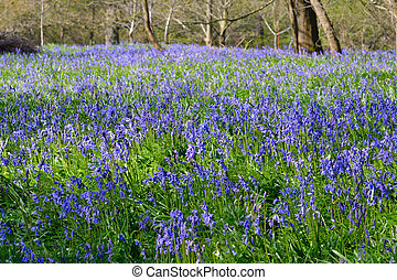 Large Field of Bluebells