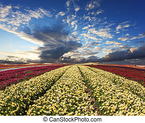 Large field of flowers