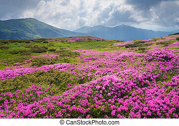 Large field of pink flowers in the mountains