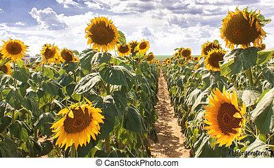 large field of sunflower plants.
