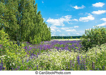 Large field with flowering lupine. - A large field with...
