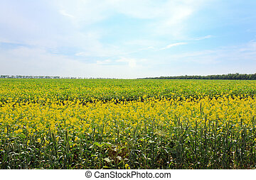 large field with yellow flowers. trees on the horizon