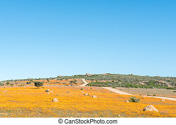 Large fields of indigenous orange daisies