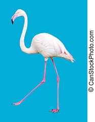 Large Flamingo isolated on blue background