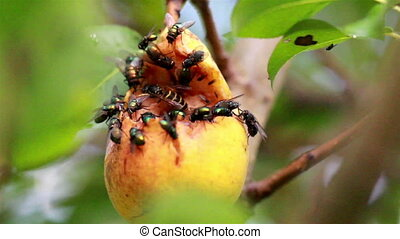 Large flies and a bee flocking at the rotten fruit