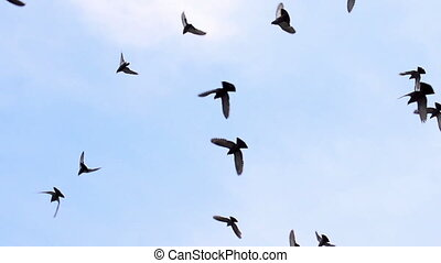 A flock of birds against the sky. Gradually increasing the number of birds. Slow Motion at a rate of 480 fps