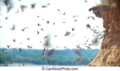 Large flock of birds flying on the cliff in summer day over...