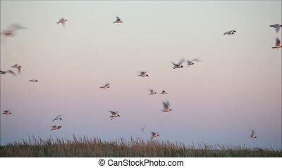 large flock of birds in the evening 1