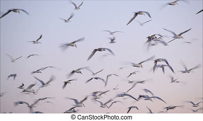large flock of birds in the evening 3