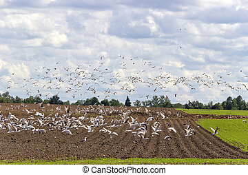 Large flock of birds
