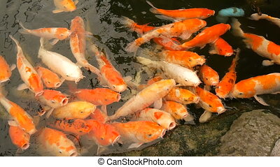 Large flock of fish Japanese red carp funny open mouth close up view