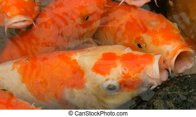 Large flock of fish Japanese red carp funny open mouth close...