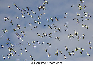 Large Flock of Flying Snow Geese