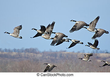 Large Flock of Geese Taking Flight