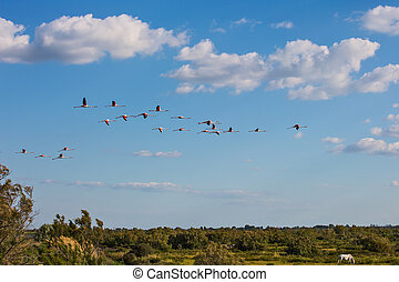 Large flock of pink flamingos in flight - Large flock of...