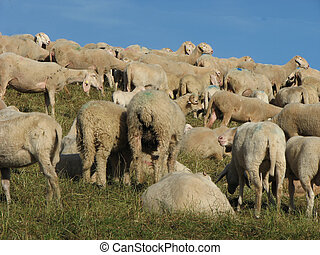 large flock of sheep and goats grazing in meadow