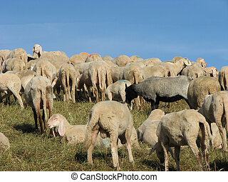 flock of sheep and goats grazing in mountain meadow