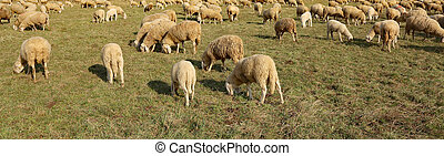 flock of sheep grazing in the large meadow