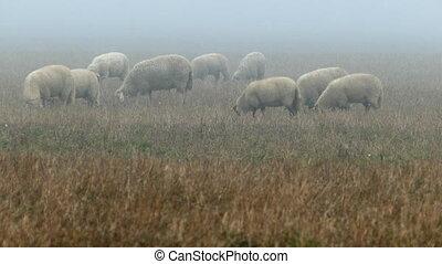 Large flock of sheeps feeding on foggy field