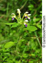 Large-flowered hemp-nettle (Galeopsis speciosa)