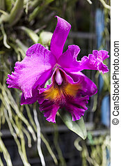 Large flowers burgundy orchid varieties on a branch with...