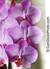 Large flowers of a pink orchid on a white background