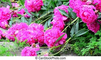 Large flowers of pink peonies lie on Earth. - Large flowers...
