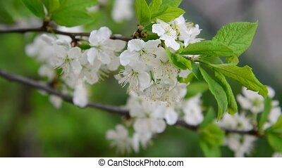 Large flowers on plum tree in spring