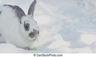 Large fluffy rabbit eats cabbage leaf spots on the white snow.