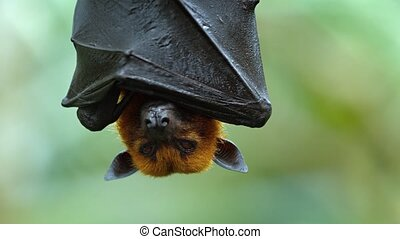 Adorable, Malaysian flying fox hangs upside down, wrapped in his own wings, for a nap in his habitat. Footage UHD