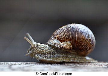 Large forest grape snail creeping on a tree, close-up