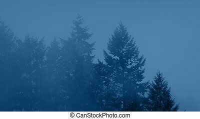 Large Forest Trees On Misty Evening - Cedar trees in heavy...