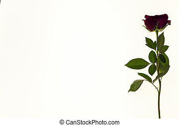 Large fresh red rose flower on white background. Background for greeting card with place for text