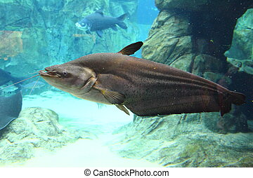 Large freshwater catfish from the side