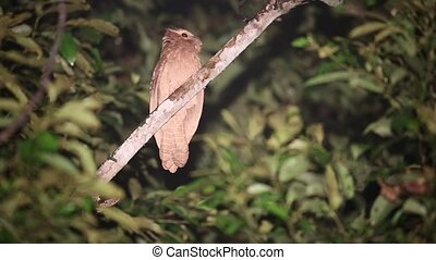 Large frogmouth (Batrachostomus auritus) in Sabah, Borneo,...