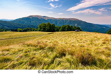 large grassy meadow of Carpathians. gorgeous landscape in...